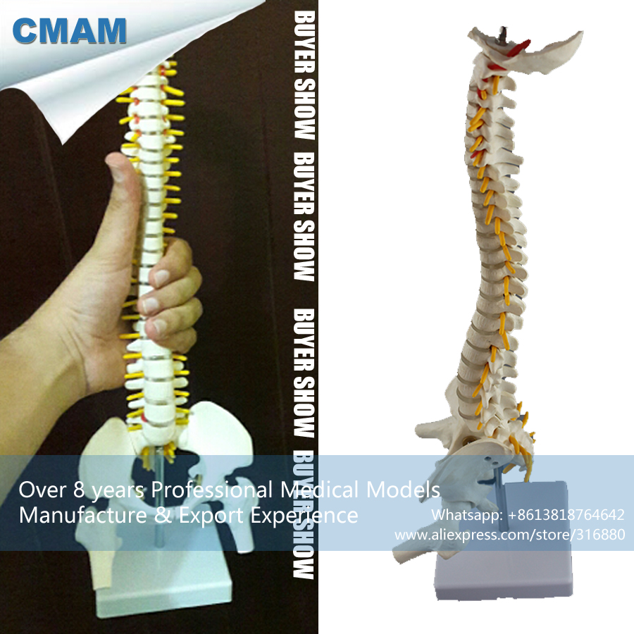 CMAM-SPINE08 Mini Anatomical Human Vertebral Column with Pelvis and Femur Heads Spine Model vertebral column model with pelvis femur heads and sacrum 45cm spine model with intervertebral disc