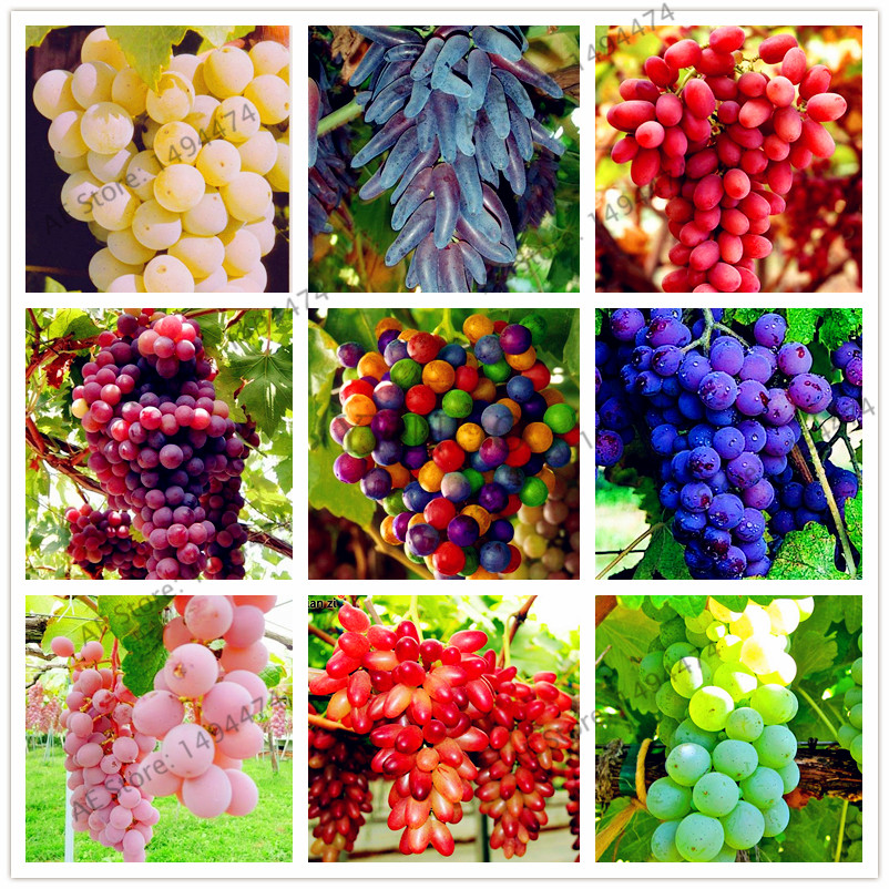 Sweet Grape Seeds 50pcs Best Seeds Online Free