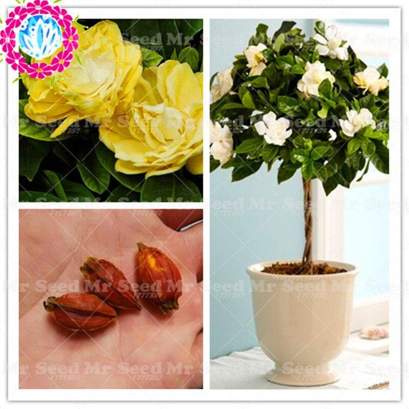 2 шт./пакет настоящая гардения лампа (Жасмин) Бонсай лампа, многолетний цветок кустарник-открытый опыление Балконный цветочный горшок домаш...
