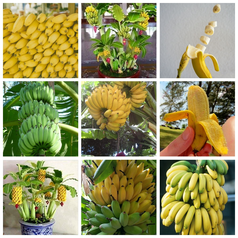 100 Pcs Dwarf Banana Tree Fruit Rare Mini Bonsai Pink Outdoor Banana Musa Velutina Plant Da Fruta For Garden Flower Pot Planter