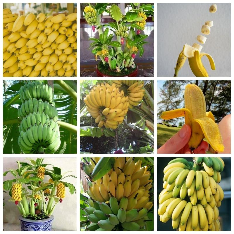 Us 0 17 78 Off 100 Pcs Dwarf Banana Tree Fruit Rare Mini Bonsai Pink Outdoor Banana Musa Velutina Plant Da Fruta For Garden Flower Pot Planter In