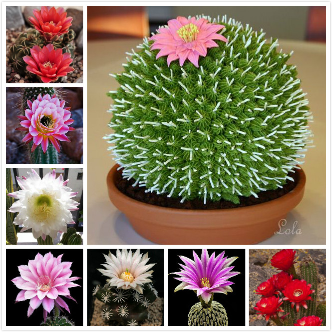 Aliexpresscom Compre Misturado Mini Cacto Cactaceae Planta Suculenta