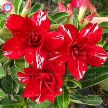 2pcs real Desert Rose seeds Adenium obesum flower seed high germination rate bonsai for DIY home garen supplies ornamental plant