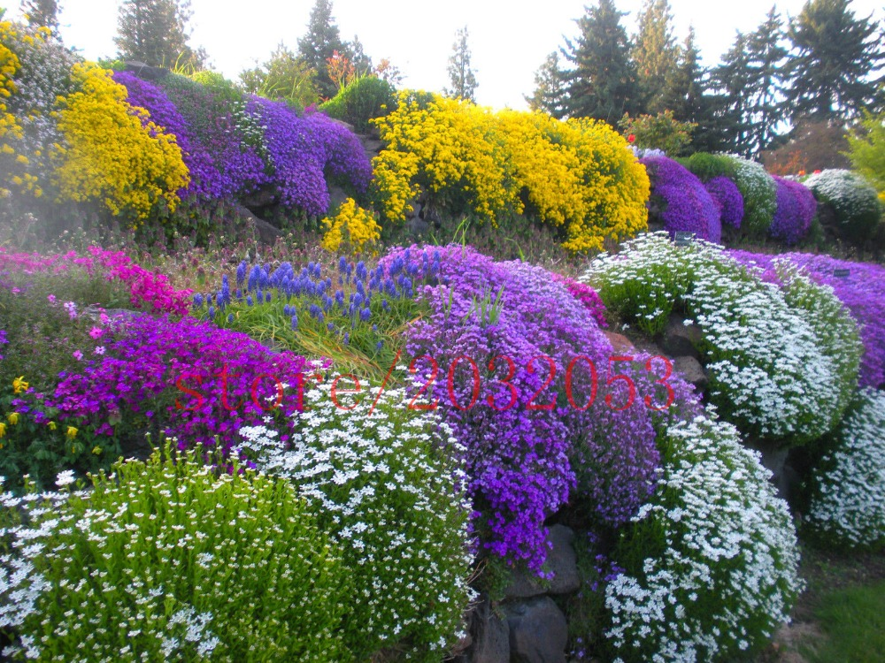 Mix 100 Rock Cress Seeds AUBRIETA FLOWER SEEDS / Evergreen Perennial / Deer  Resistant Flower Seeds