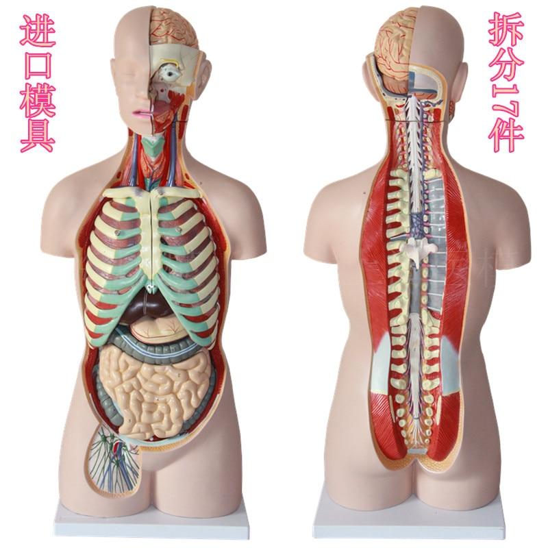 85CM 17 part human torso anatomical model human organs visceral ...