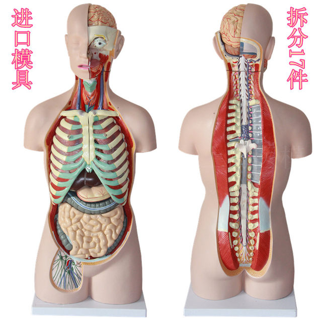 Online Shop 85CM 17 part human torso anatomical model human organs ...