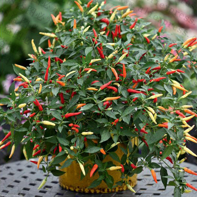 200Pcs-Giant-Spices-Spicy-Red-Chili-Hot-Pepper-flores-Plants-potted-bonsai-garden-courtyard-balcony-plant.jpg_640x640 (1)_