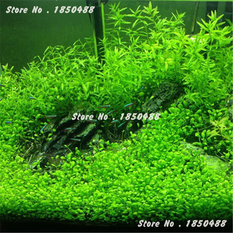 2016 new 1000 pcs aquarium plant seeds water aquatic plant for Easy ornamental grasses