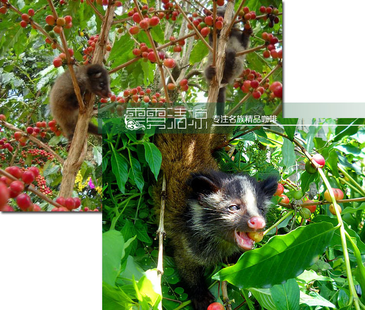 Civets coffee linotypes coffee beans cat coffee beans top wild cat feces coffee ripe bean 100g/bag on Aliexpress.com
