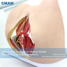 CMAM-ANATOMY24 Life Size Anatomy and Biology Education Female Perineum