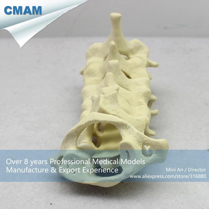 12312 Cmam Tf01 C1 C7 Cervical Vertebra Bonesswabone Models Spine