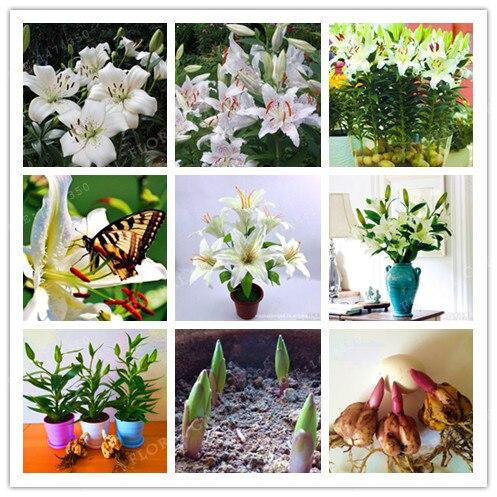 bombillas de bulbos de lirio blanco verdadero no lily semillas plantas