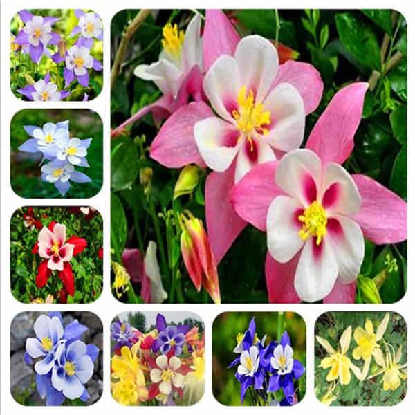 Venda! 100 Pcs Hardy perene Aquilegia flor bonsai planta bonita misturar Europeu flor planta bonsai para casa e decoração do jardim