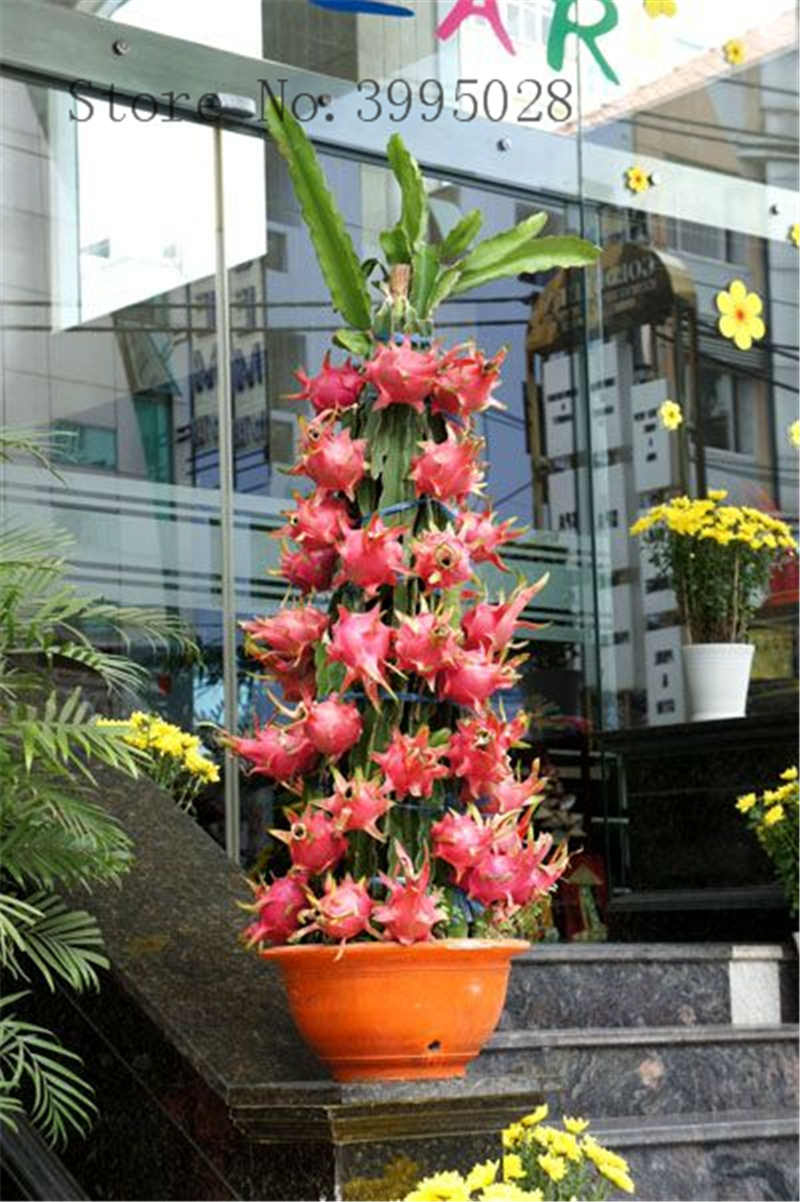 100pcs bag Pitaya garden WHITE DRAGON Fruit plant Pitaya Pitahaya Strawberry Pear bonsai Free Shipping in Bonsai from Home Garden