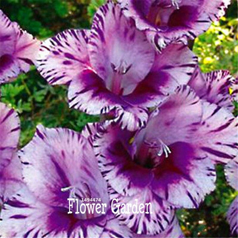 rare rayas jardn terraza jardn de plantas de flores semillas de orqudeas semillas gladiolo gladiolo gan