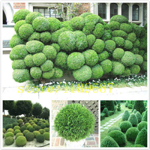 100 pcs juniper tree seeds  juniper balls potted flowers purify the air  2015 new seeds for DIY home garden plant  easy to grow