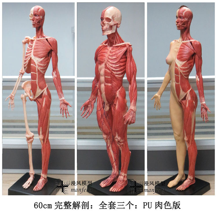 3pieces / group) 100% of pu material / 60cm High Anatomy for the ...