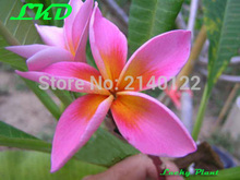 7-15inch Rooted Frangipani Plant Thailand Rare Real Plumeria Plants no109-helena