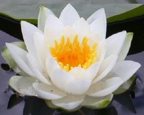popular white lotus avatarbuy cheap white lotus avatar lots from, Beautiful flower