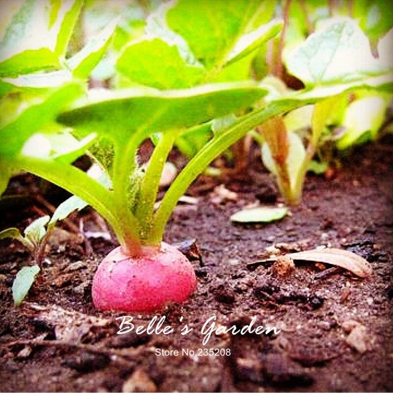 100pcs Heirloom Round Pink Beauty Radish Seeds Rare Imported Oganic Pink Radish Home Garden Fruit Vegetable Seeds