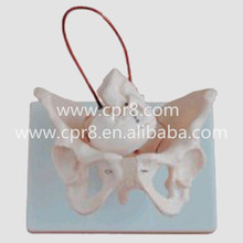 BIX-A1026 Female Pelvis Model With Fetal Skull, Midwifery Bone Model Australia Freight Free, AU Freight Free WBW316
