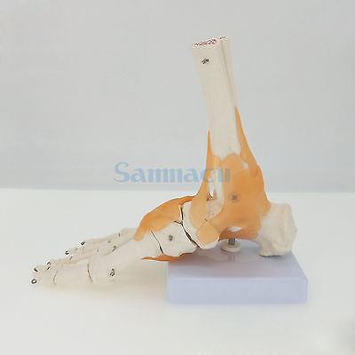 Functional Foot Joint with Ligaments Anatomical Skeleton Model Medical Anatomy Life Size Display Teaching School life size hand joint with ligaments the palm of your hand with ligament model