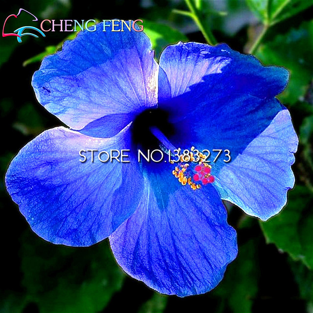 Us 129 200 Pcs Giant Hibiscus Flower Seeds Imported China Flowers Hibiscus Seeds Easy Grow For Home Garden Best Christmas Gift For Kids In Bonsai
