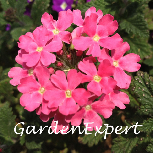 50pcs Pink Verbena Hybrida Voss Seeds Bonsai Flower Seeds Perennial Flower  Plant DIY Home Garden Verbena