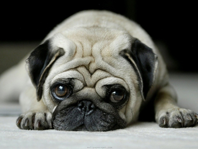 canvas poster silk fabric p1018 funny pug dog face big eyes posters