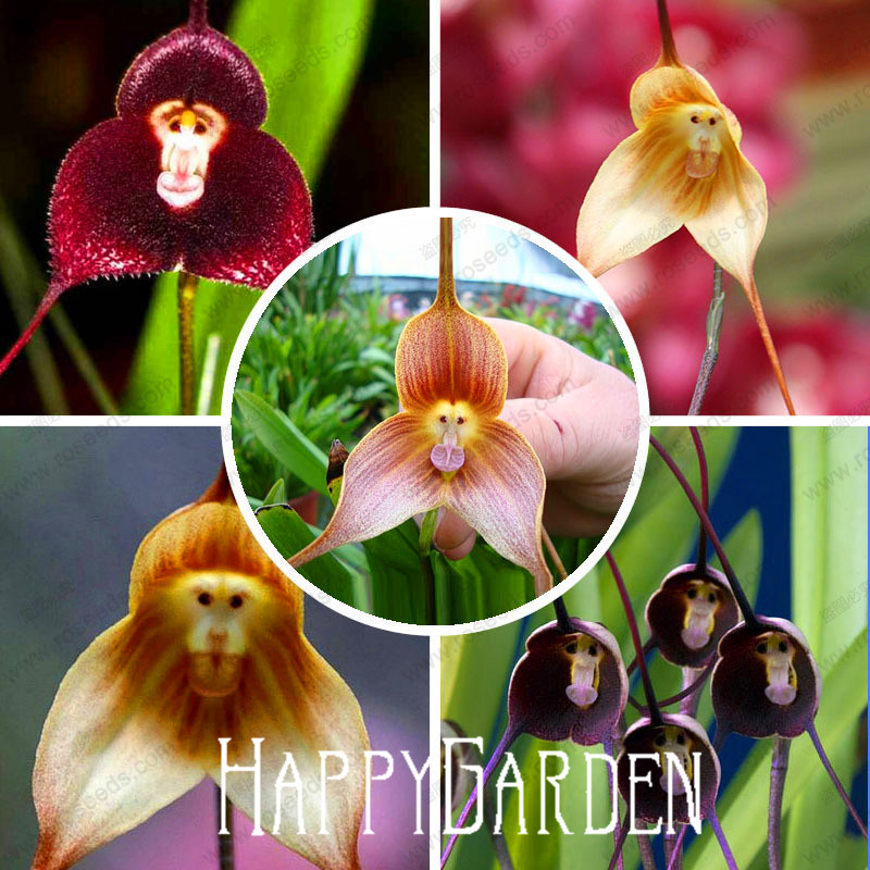 monkey face orchids seed 100 pcs multiple varieties bonsai plants seeds for home garden. Black Bedroom Furniture Sets. Home Design Ideas