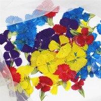 Natural Dried Flowers Leucanthemum Paludosum DIY Handmande Floral Dried Flower Wholesale Free Shipment 1 Lot 120pcs
