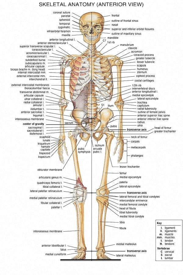 skeletal system poster anatomical chart human body skeleton medical art wall poster silk print for home decor