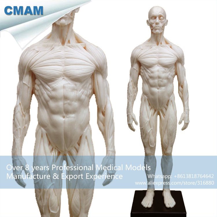 popular human muscle model-buy cheap human muscle model lots from, Muscles