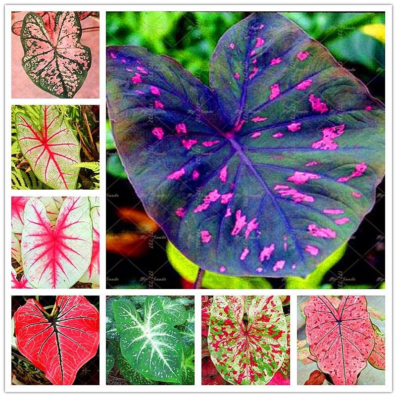 100pcs Rare Colorful Caladium Bonsai Plant Burnt Rose Jio Ying