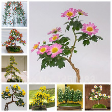100 pcs/bag Rainbow Daisy, Daisy Flower Seeds, Chrysanthemum Flower, Bonsai Flower Seeds,Natural Beautiful Potted Plants
