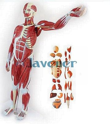 Human Anatomical Most Muscular Pose + Visceral Organ Anatomy Medical Model human anatomical male genital urinary pelvic system dissect medical organ model school hospital