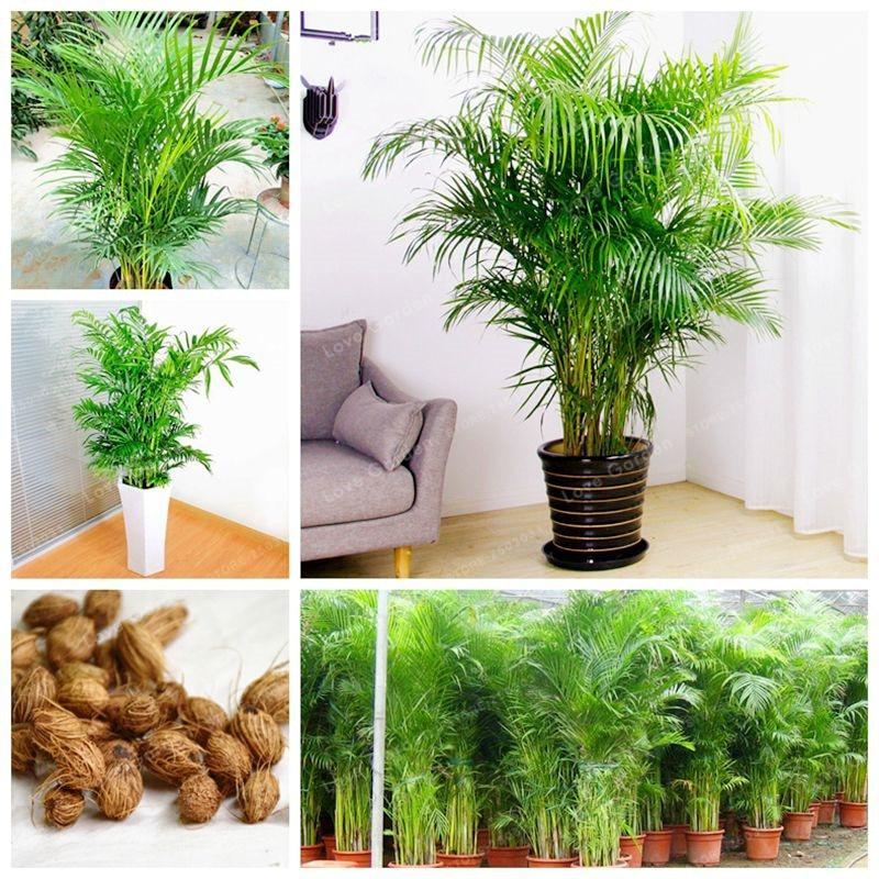 Plantas de interior raras crisalidocarpus Lutescens bonsái decoración del hogar Areca Palma bonsái mariposa palmeras bonsái 5 piezas