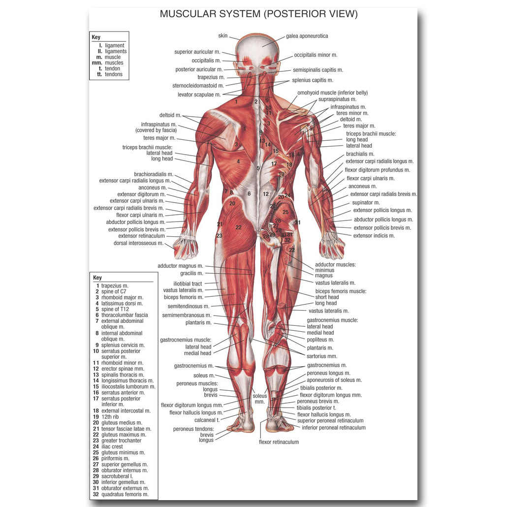nicoleshenting human anatomy muscles system art silk poster 13x20 24x36 inch body map pictures for medical [ 1030 x 1030 Pixel ]
