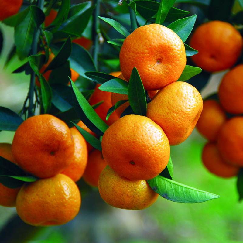 40 seeds/pack Potted Edible Fruit Seeds Bonsai Climbing Orange Tree Seeds Bonsai Plant For Home Garden