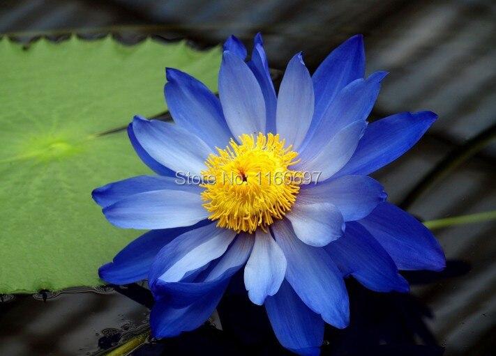 graines de lotus bleu promotion achetez des graines de lotus bleu promotionnels sur aliexpress. Black Bedroom Furniture Sets. Home Design Ideas