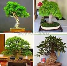 on sale!!!Heirloom 5pcs  Seeds Oak Tree Seeds Bonsai Seeds Quercus Alba Acorns seeds  indoor plant  DIY home gardern