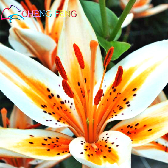 compare prices on stargazer lily flower online shopping/buy low, Beautiful flower