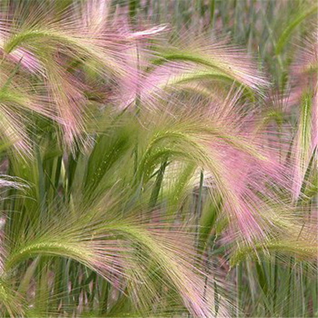 Ziergras Garten 100 teile paket fuchsschwanz gerste zier gras samen seltener garten