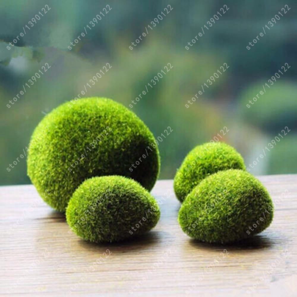 яванский мох купить в Китае