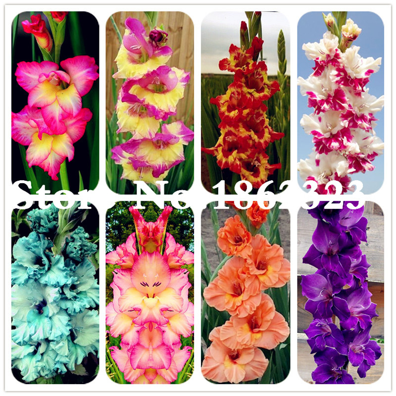 Многоцветные гладиолусы цветок (лампы не гладиолус), 95% прорастание, DIY Аэробные горшочки, редкие гладиолусы бонсай цветок-120 шт