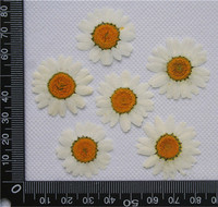 White Chrysanthemum Bulk Packing 1000pcs DIY Pressed Flowers for home dried flower free shipment