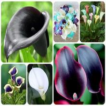 True Calla Lily Bulbs 2Pcs 24 Colors Calla flower bulbs Potted Balcony Plant Rhizome Bonsai Can Radiation Absorption not seeds