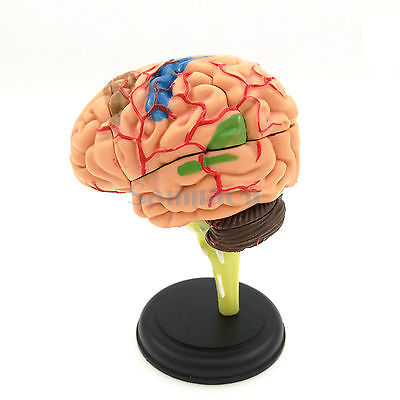 9x9x9cm Human Brain Anatomical Model Need Assemble Imagination Culture Medical Science Teaching 4d anatomical human brain model anatomy medical teaching tool toy statues sculptures medical school use 7 2 6 10cm