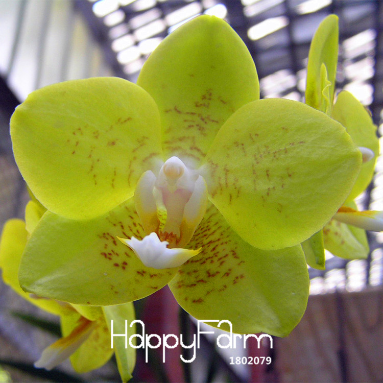 All About Green Orchids