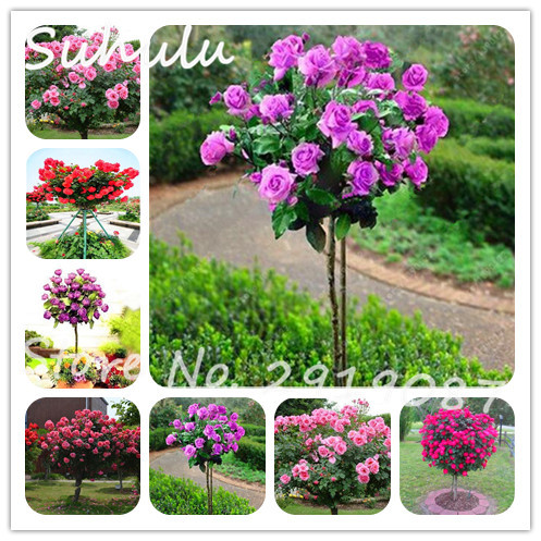 20 pcs rare pink romantic rose tree seeds bright beautiful perennial 20 pcs rare pink romantic rose tree seeds bright beautiful perennial flowers home wall decor fragrant attractive light up garden in bonsai from home mightylinksfo
